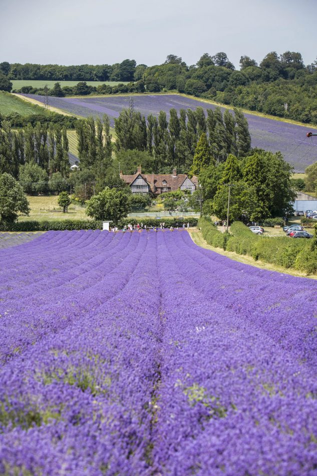 the lavender fields at Castle Farm in Shoreham Kent being used by Tonbridge photographer, Sarah Hart
